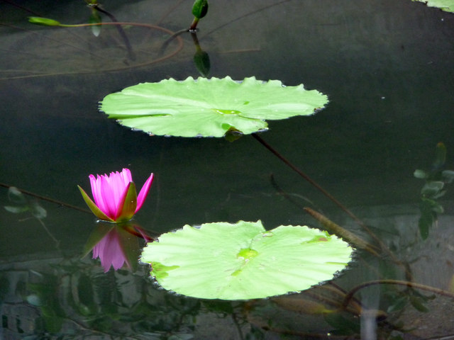Water Lily, Temperate House, Kew Gardens
