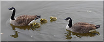 TQ1977 : Family of Canada Geese, Kew by Christine Matthews