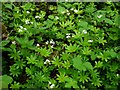 NY9038 : Woodruff (Galium odoratum), Spring Bank Wood by Andrew Curtis