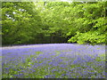 SW7936 : Bluebells and young beech leaves by Rod Allday