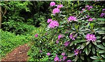 J3480 : Rhododendrons, Newtownabbey (1) by Albert Bridge