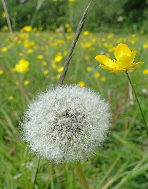 Dandelion clock in a wild flower meadow