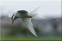 HP6312 : Arctic Tern (Sterna paradisaea), Haroldswick by Mike Pennington
