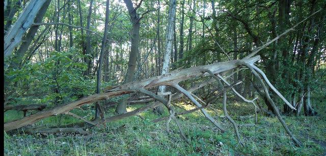 Skeletal Tree, Thrift Wood, Woodham Mortimer