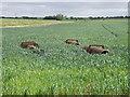 TL3279 : Flat rolls left in the wheat by Michael Trolove