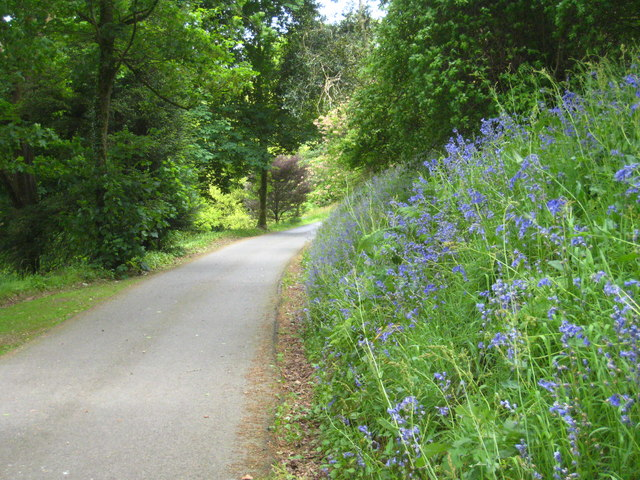 Bluebells beside the main drive on Caerhays Estate
