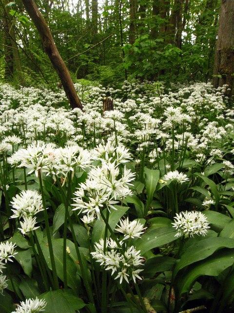 Auchmacoy: Wild Garlic