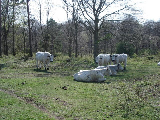 Cattle near Friston Forest