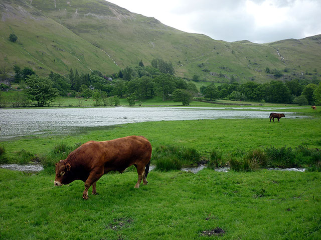A bull at Patterdale