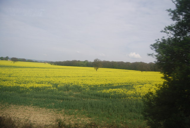 Oilseed Rape near Dering Wood