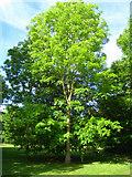 SU7451 : Bright green tree by Sandy B