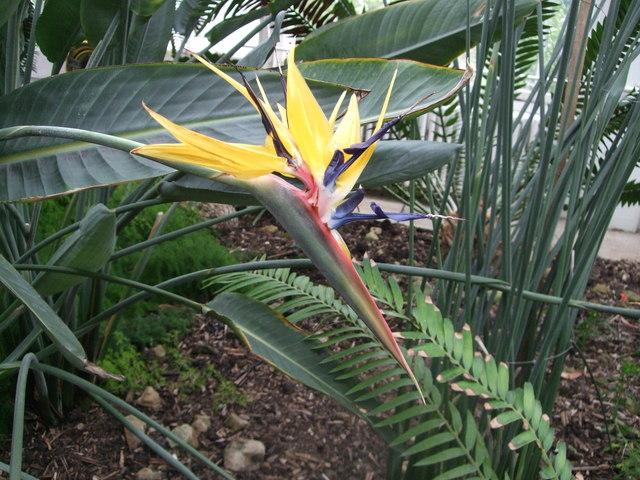 Bird of Paradise - Temperate House