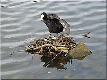SE2741 : Coot's nest on the Lake at Golden Acre Park by Oliver Dixon