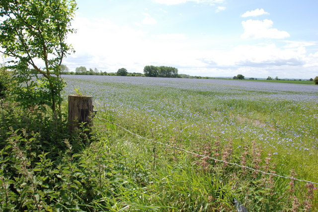 Field Of Linseed, Mansty Lane.