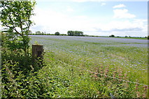 SJ9513 : Field Of Linseed, Mansty Lane. by Mick Malpass