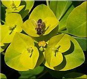 SX7962 : Bee on spurge, Dartington by Derek Harper