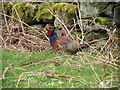 NZ6309 : Pheasant, Crag Bank Wood by Maigheach-gheal