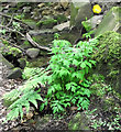 SJ8959 : Welsh Poppy by Jonathan Kington