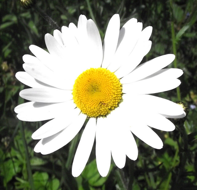 Ox-eye Daisy flower