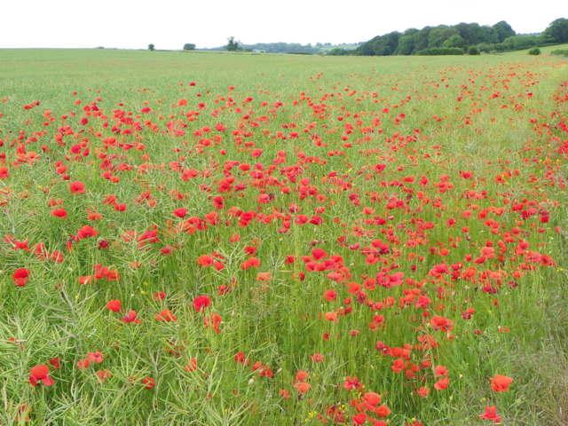 Poppies among the rape, Toyd Farm