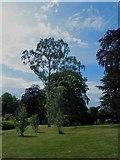 SE3238 : Silver birch in Roundhay Park, Leeds by Steve  Fareham