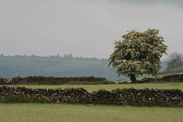Hawthorn with blossom