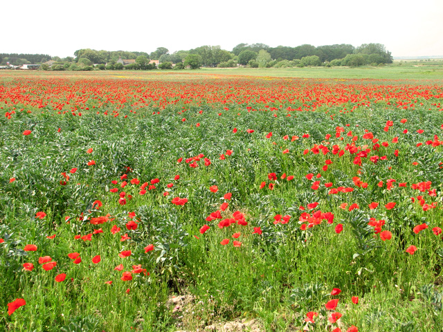 A field of poppies north of Market Road, Belton