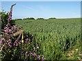 SS9116 : Wheat near Great Haydon by Derek Harper