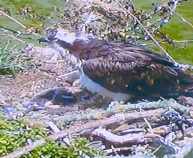 Wigtown Bay Ospreys