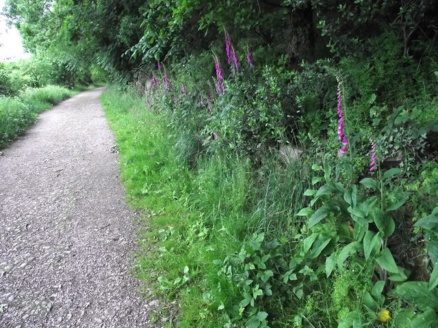 Foxgloves by the path