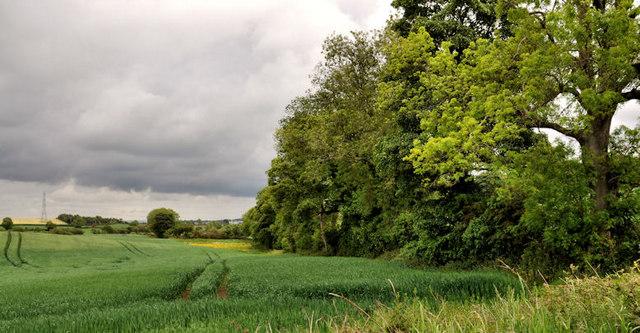 Barley field, Hillsborough (2)
