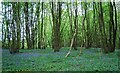 TQ8132 : Coppiced trees and bluebells by N Chadwick