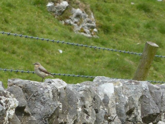 Wheatear on limestone wall