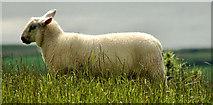 J4772 : Sheep, Scrabo, Newtownards by Albert Bridge