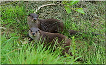 TQ3643 : Young Otters at the British Wildlife Centre by Peter Trimming