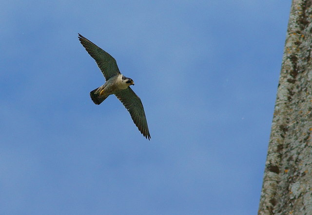Peregrine at Chichester Cathedral
