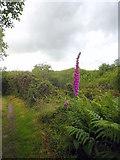 SW6833 : Foxglove beside the footpath on Porkellis Moor by Rod Allday