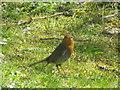 NN6824 : Robin (Erithacus rubecula), St Fillans by Maigheach-gheal