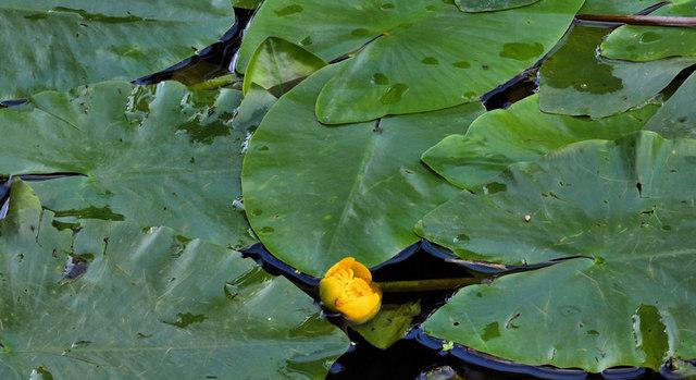 Water lilies, Lambeg
