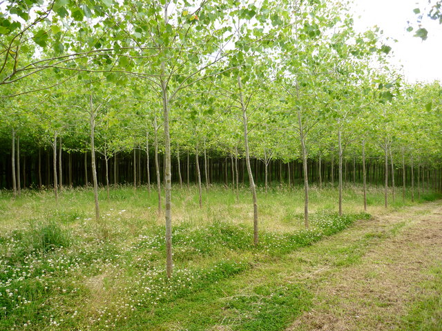 Young poplars on Westrop Farm – an addition to some valuable ancient woodland