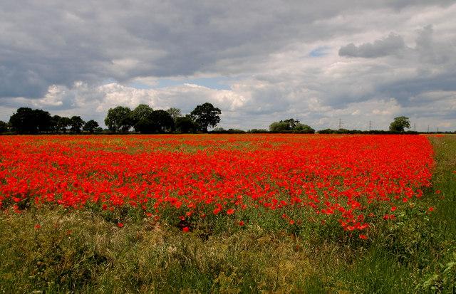 Wheat Field or Poppy Field?