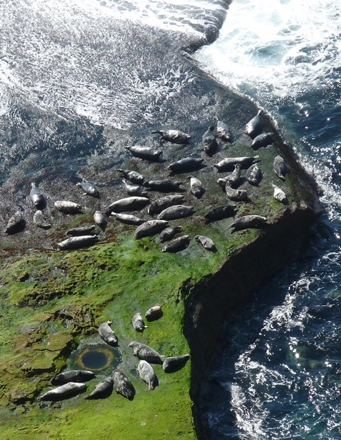 Seals hauled out by Lyrie Geo, Hoy, Orkney