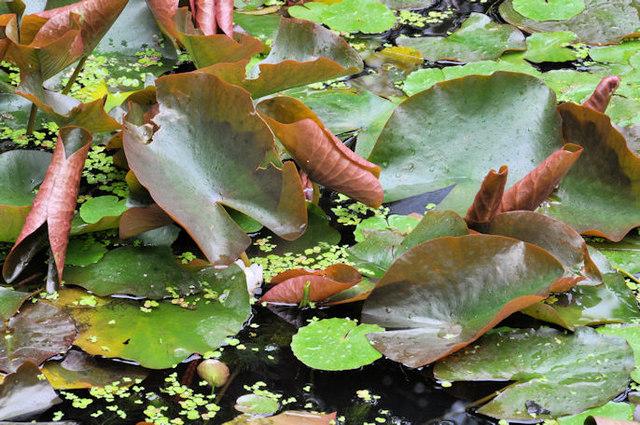 Water lilies, Dixon Park, Belfast