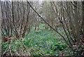 TQ9843 : Bluebells, Chestnut Tell Plantation by N Chadwick