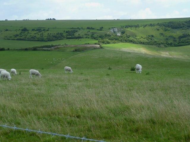 Sheep grazing on Windmill Hill