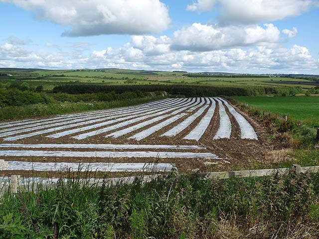 Maize field near Newton on the Moor