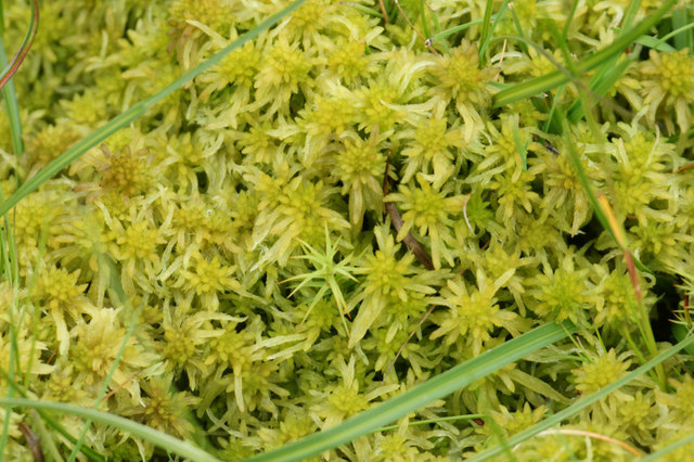 Sphagnum moss, Hermaness