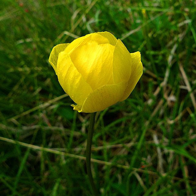 Globe Flower (Trollius europaeus)