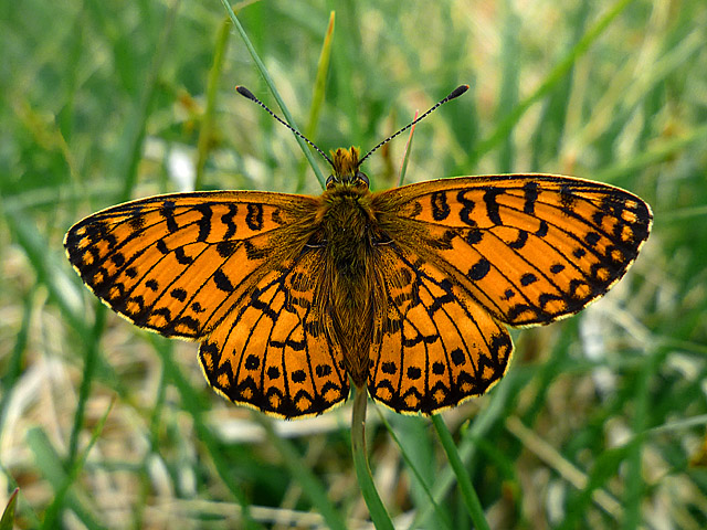 Small pearl-bordered fritillary (Clossiana selene)