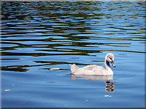 TQ2780 : Cygnet at Serpentine Lake by Oast House Archive